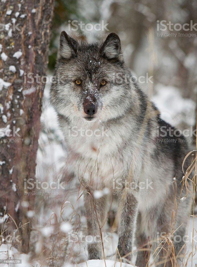 Grey Wolf in Winter stock photo