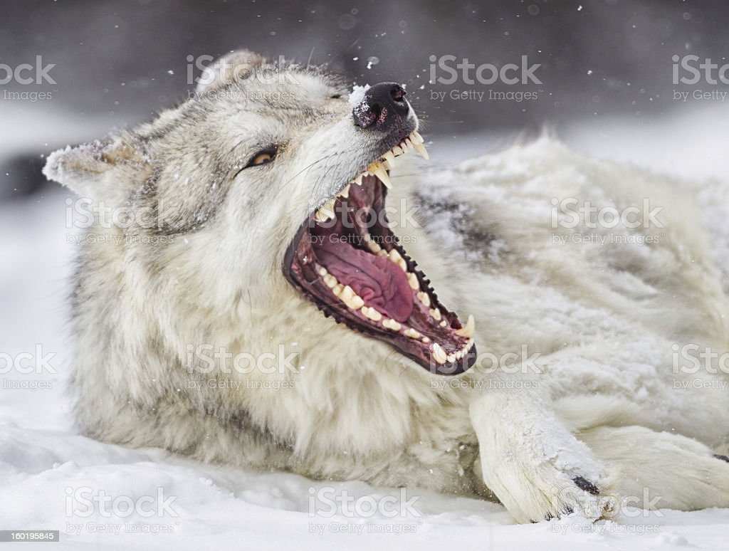 Grey Wolf in Winter royalty-free stock photo