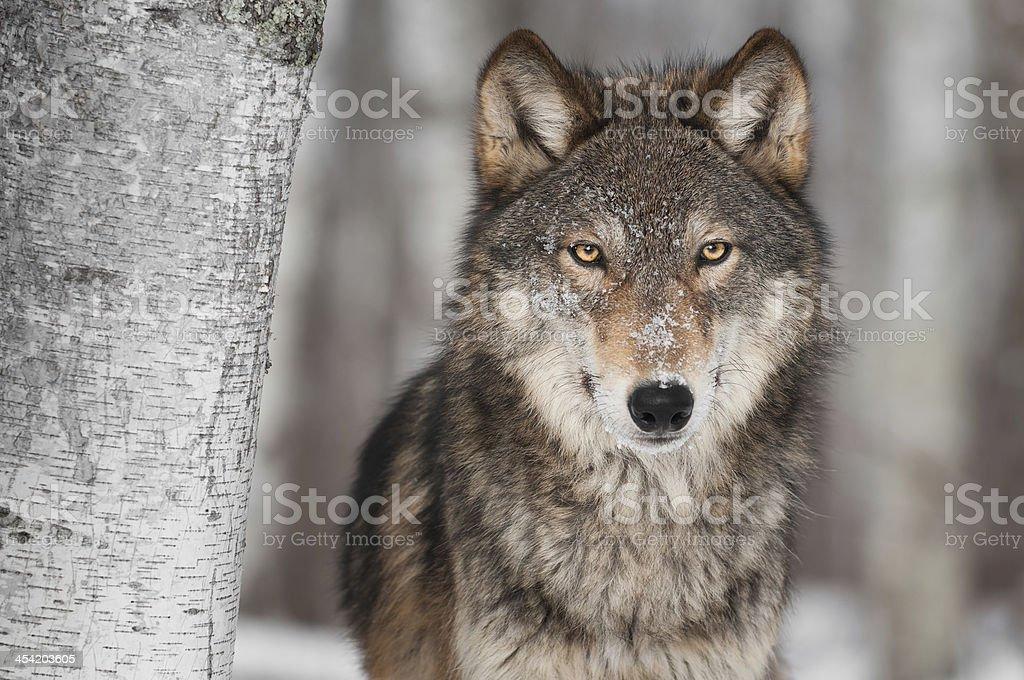 Grey Wolf (Canis lupus) Next to Birch Tree stock photo
