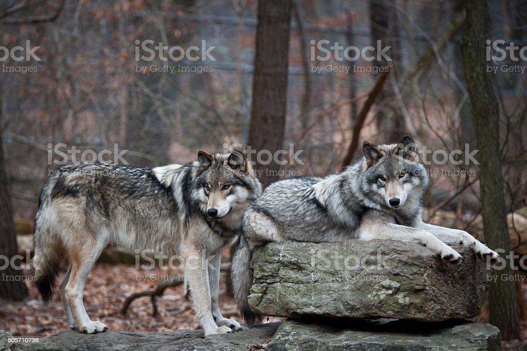 Grey Wolf Pair stock photo