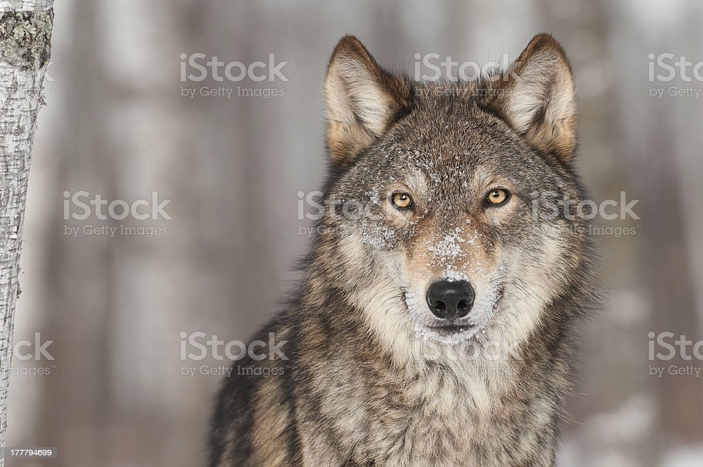 Grey Wolf (Canis lupus) Portrait stock photo