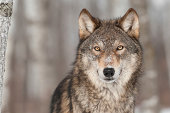 Grey Wolf (Canis lupus) Portrait