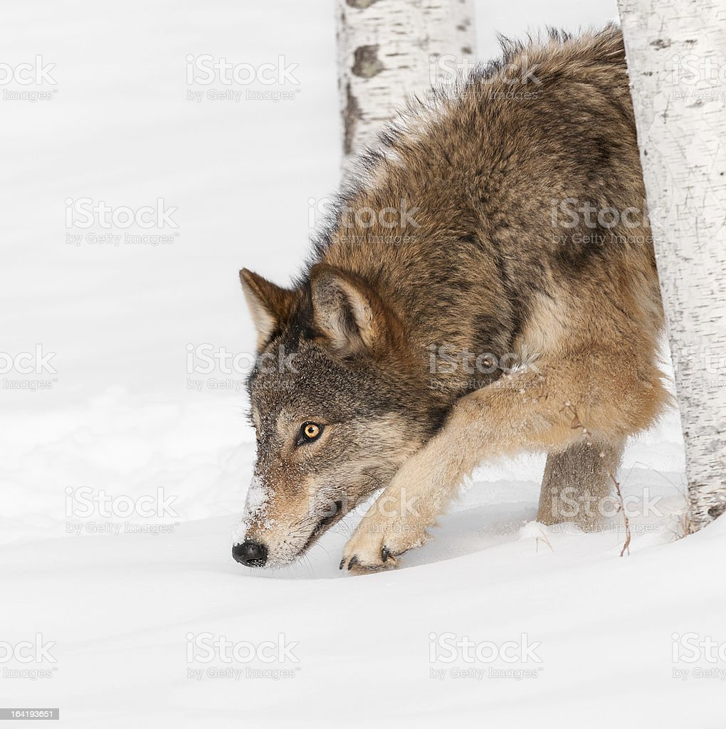 Grey Wolf (Canis lupus) Prowl royalty-free stock photo