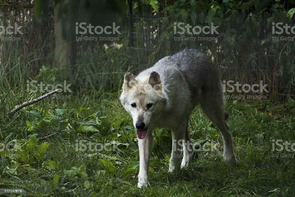 Grey Wolf Prowling royalty-free stock photo