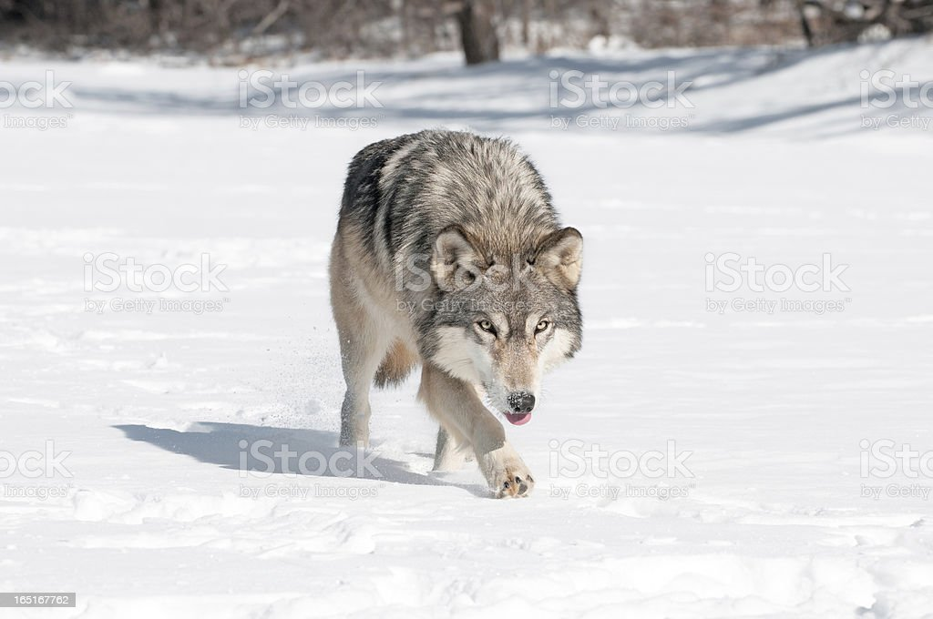 Grey Wolf (Canis lupus) Runs Along Snowy Riverbed Tongue Out royalty-free stock photo