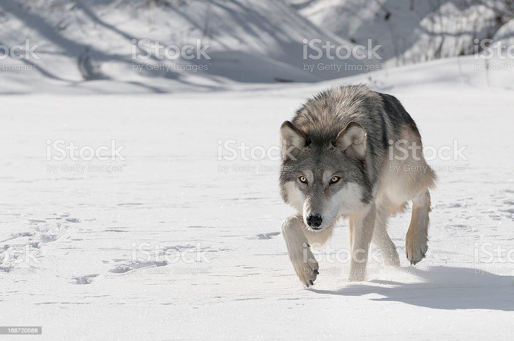 Grey Wolf (Canis lupus) Stalks Forward stock photo