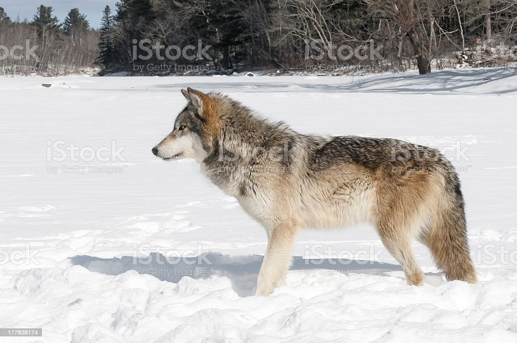 Grey Wolf (Canis lupus) Stands in Snowy Riverbed Looking Left royalty-free stock photo