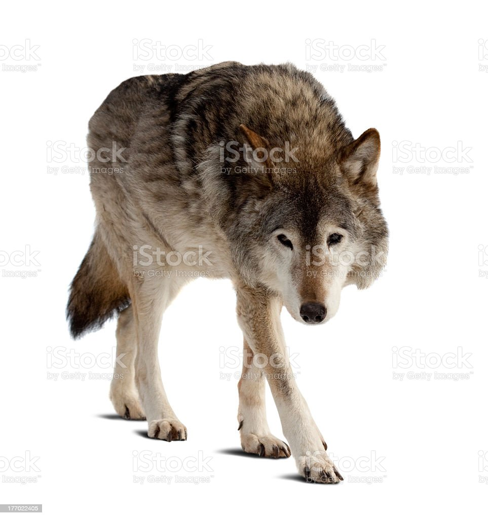 Grey wolf steals in white background stock photo