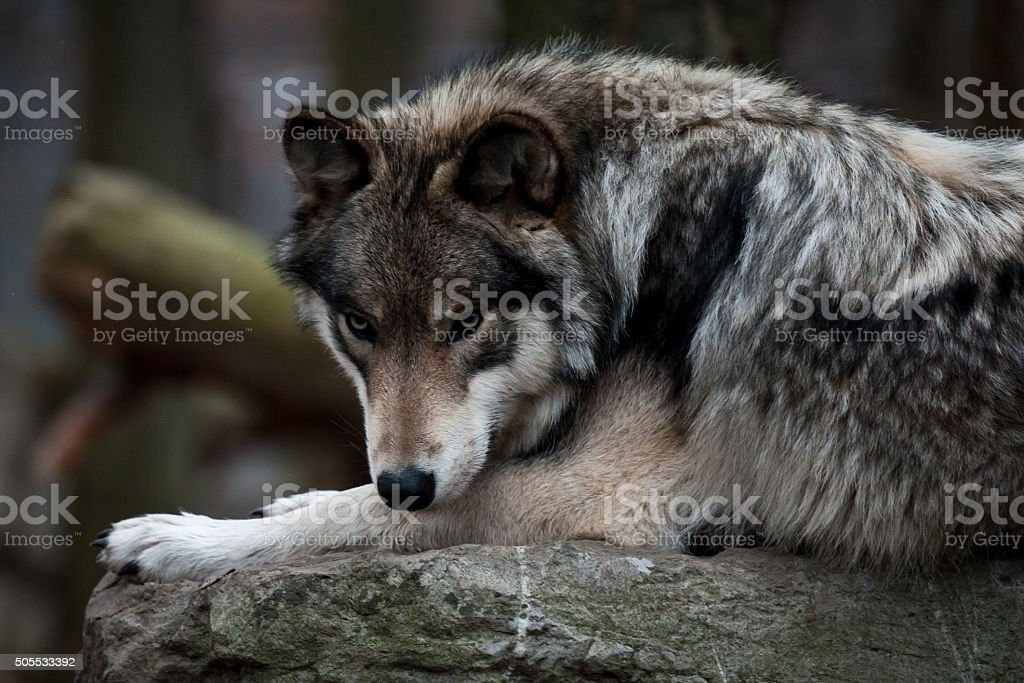 Grey Wolf Up Close stock photo