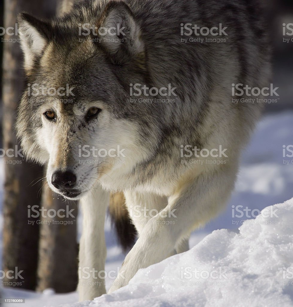 Grey wolf walking. royalty-free stock photo