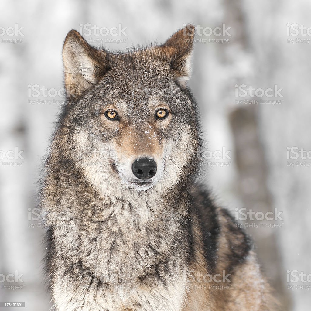 Grey Wolf (Canis lupus) with One Ear Back stock photo