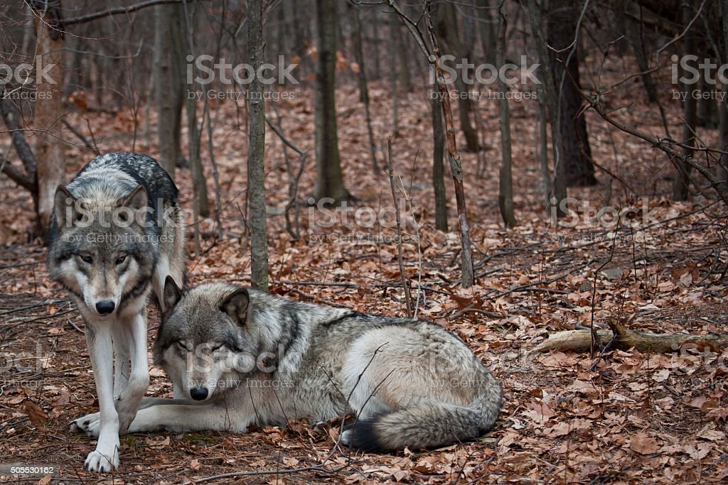 Grey Wolves stock photo