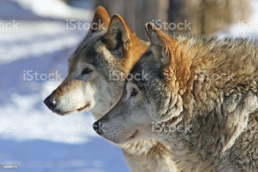 Grey  wolves (canis lupus) stock photo