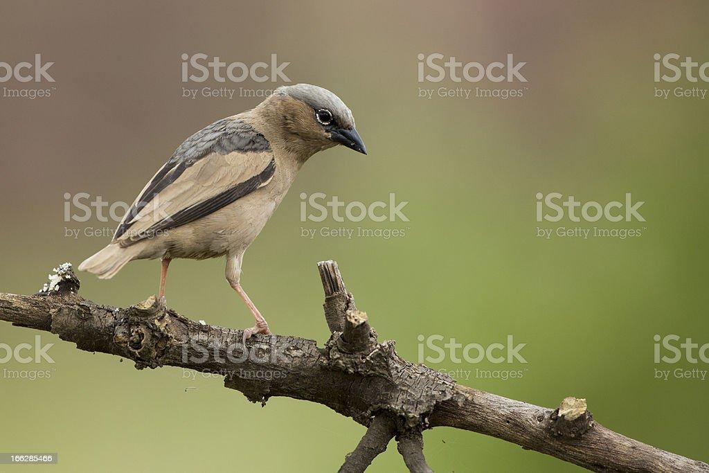 Grey-capped Social Weaver (Pseudonigrita arnaudi) Serengeti, Tan stock photo
