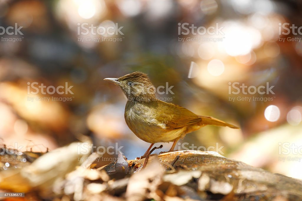 Grey-eyed Bulbul stock photo