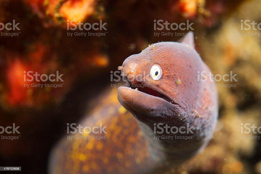 Greyface moray eel stock photo