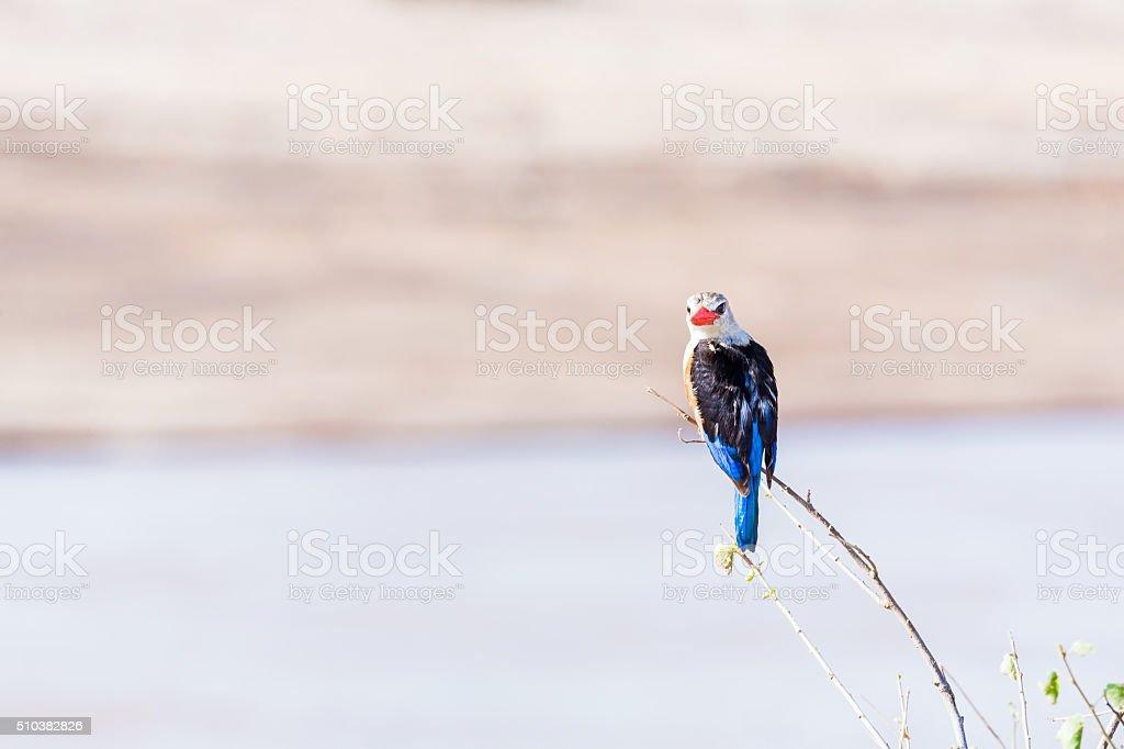 Grey-Headed red beak Kingfisher stock photo