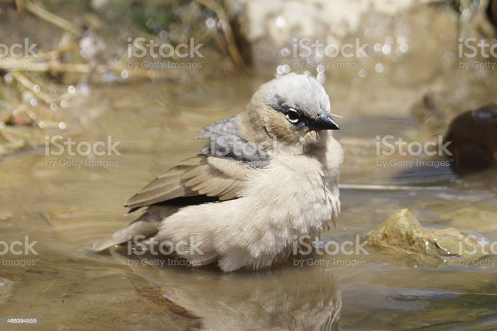Grey-headed social weaver bathing stock photo