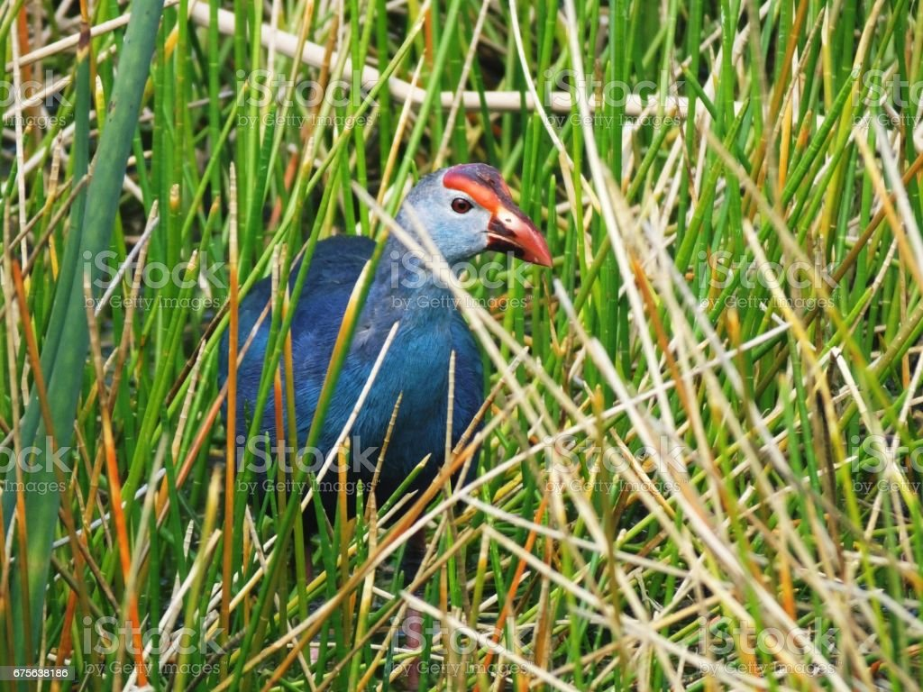 Grey-headed Swamphen  (Porphyrio poliocephalus) stock photo