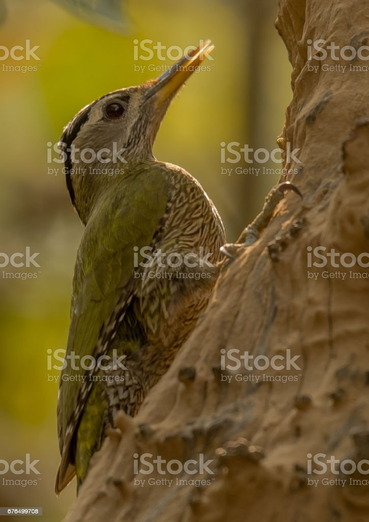 Grey-Headed Woodpecker stock photo