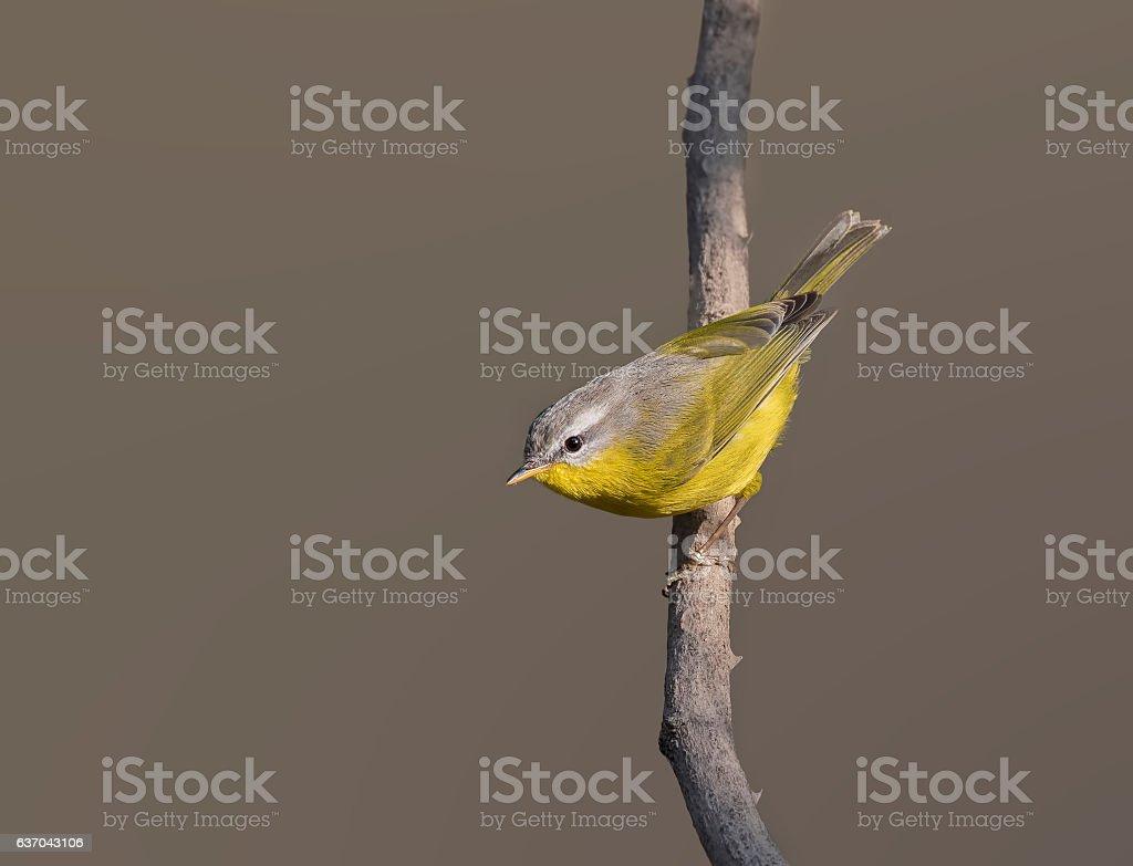 Grey-hooded warbler (Phylloscopus xanthoschistos) stock photo