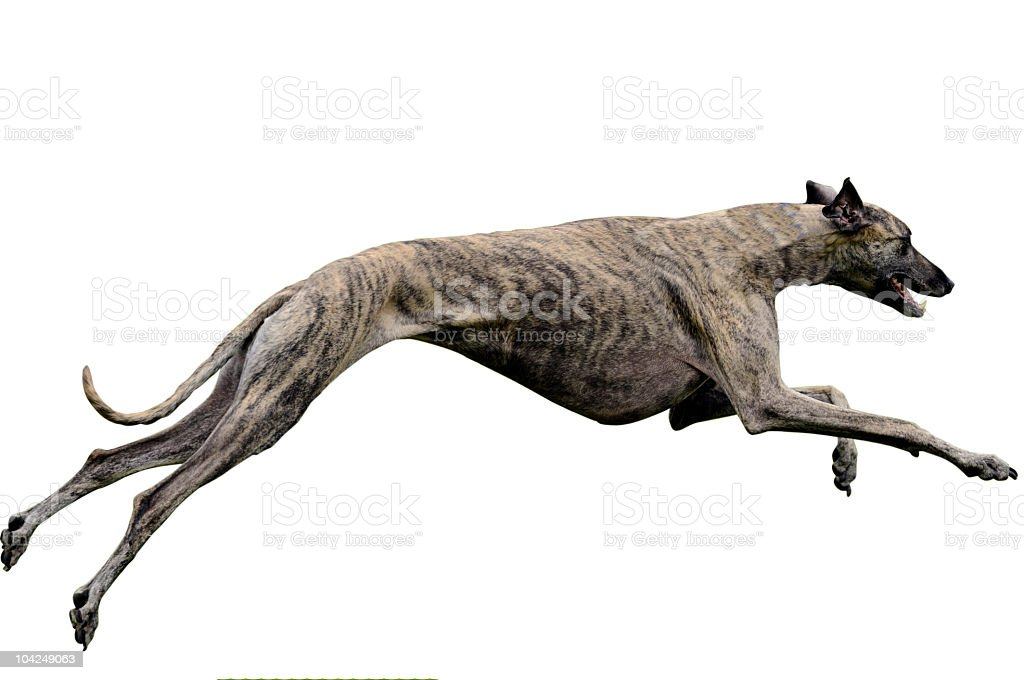 Greyhound coursing. Clipping path included stock photo