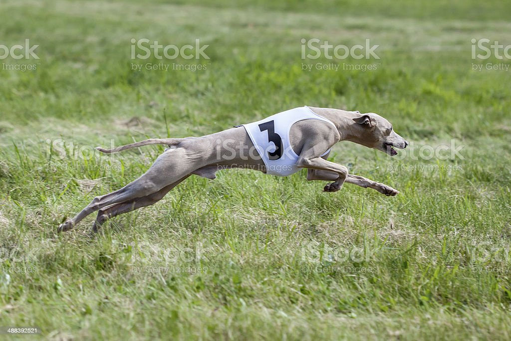 Greyhound coursing stock photo