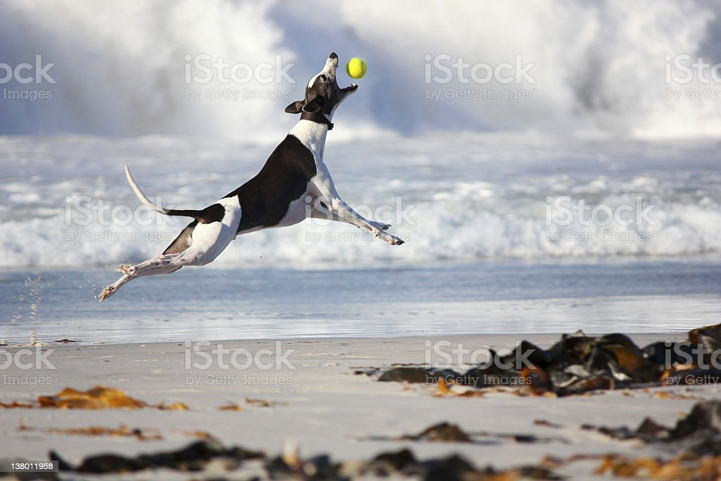 Greyhound dog catching ball stock photo