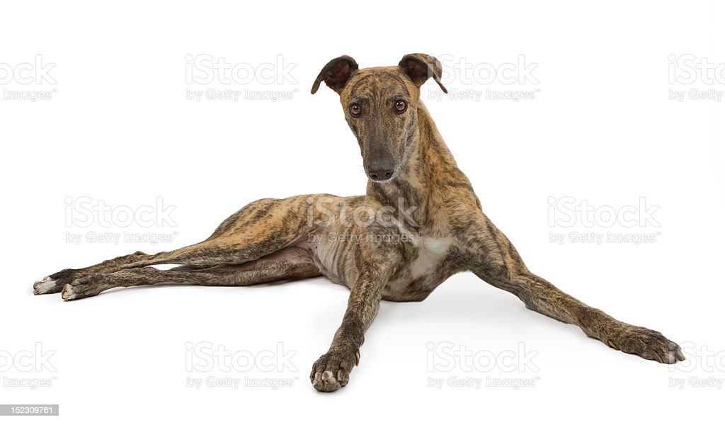 Greyhound Dog Laying Down Looking Up stock photo
