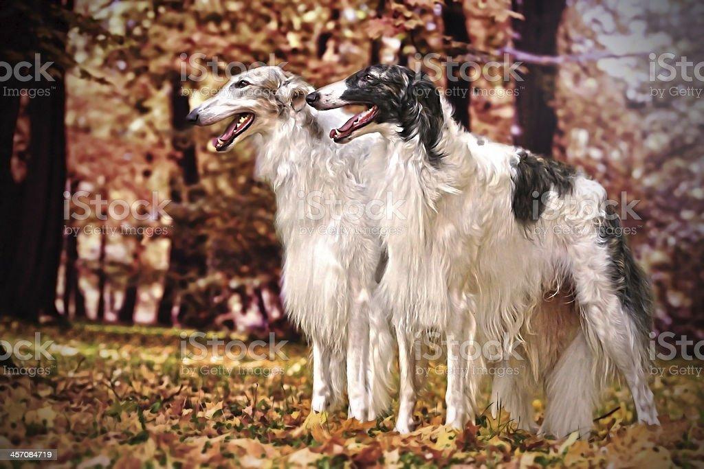 Greyhound dogs stock photo