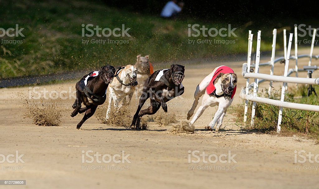 Greyhound dogs racing on sand track stock photo