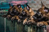 Greyhound group standing
