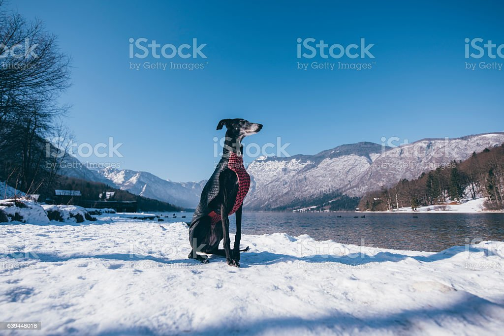 Greyhound in the snow stock photo