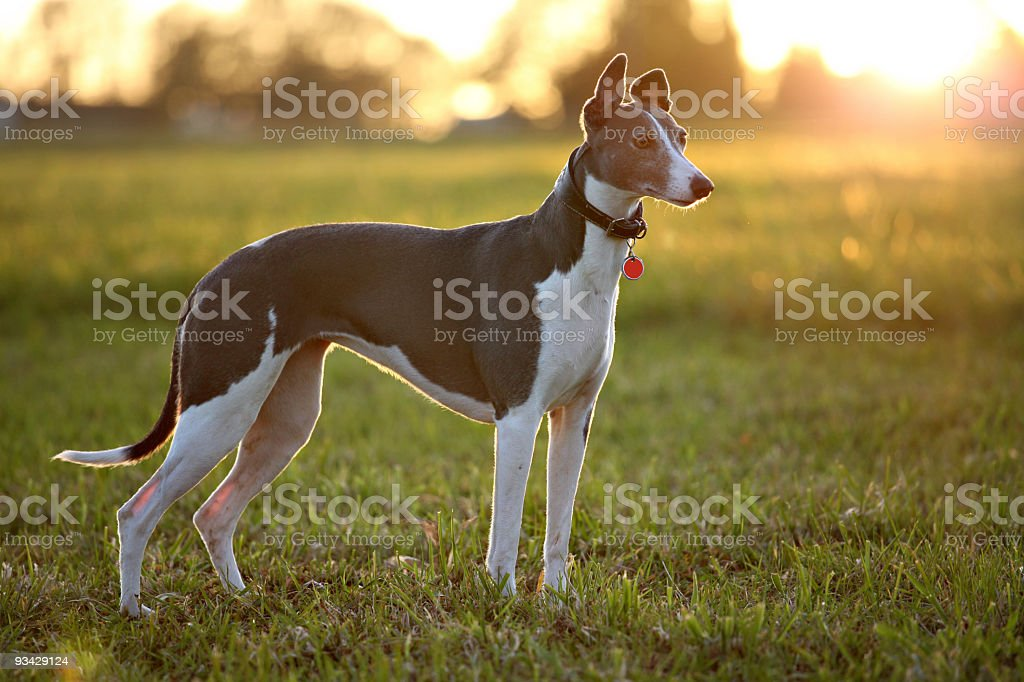 Greyhound on field royalty-free stock photo