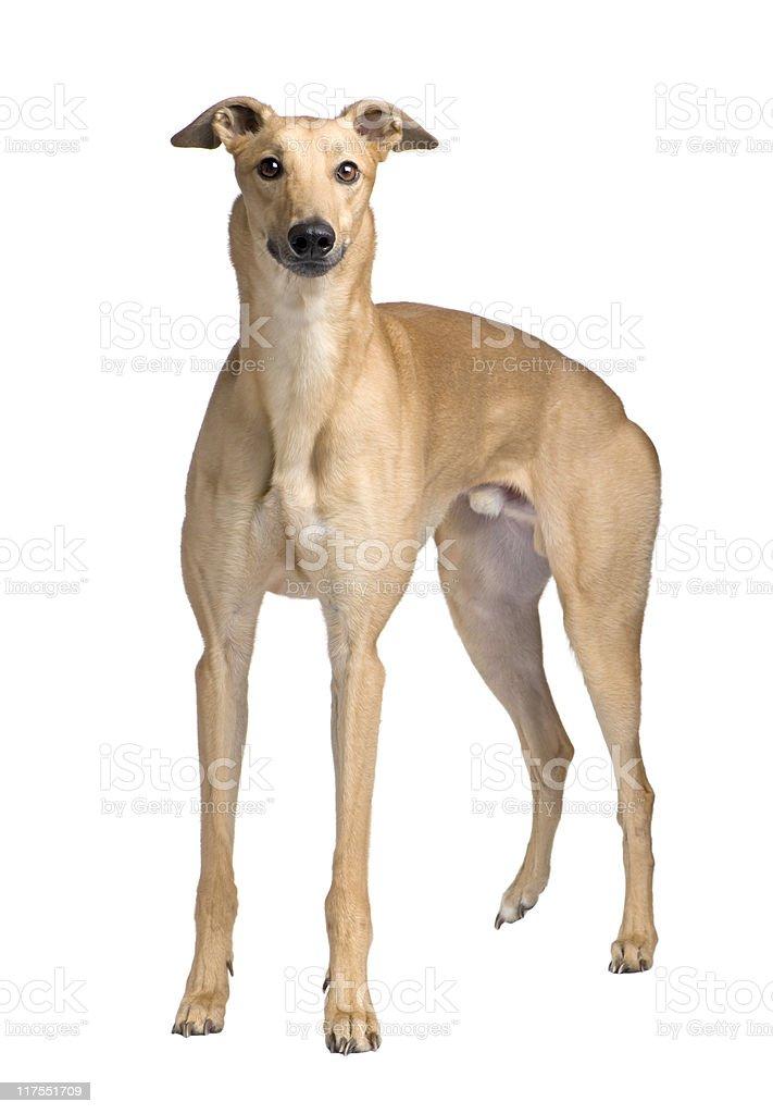 Greyhound (17 months) stock photo