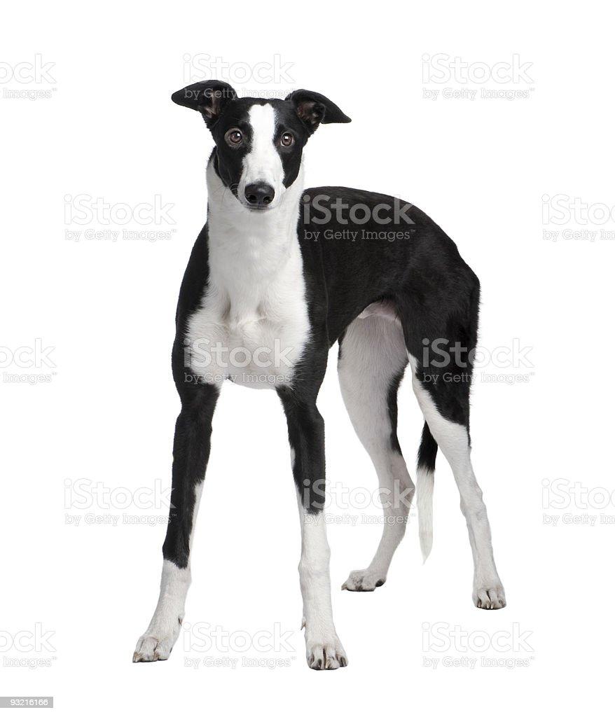 Greyhound (7 months) royalty-free stock photo