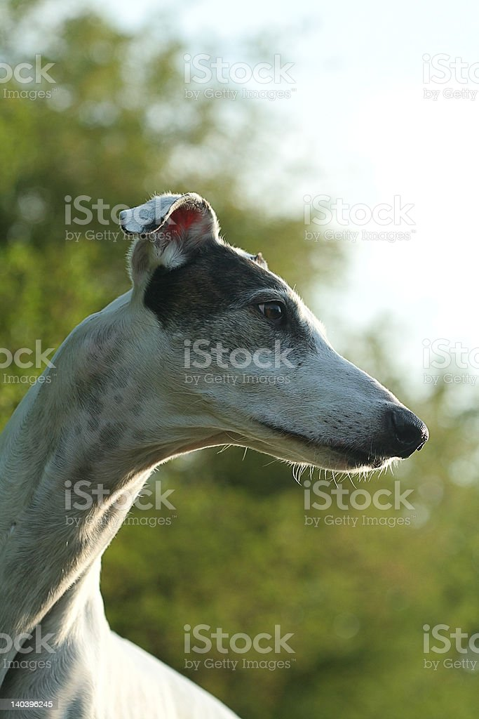 greyhound portrait royalty-free stock photo