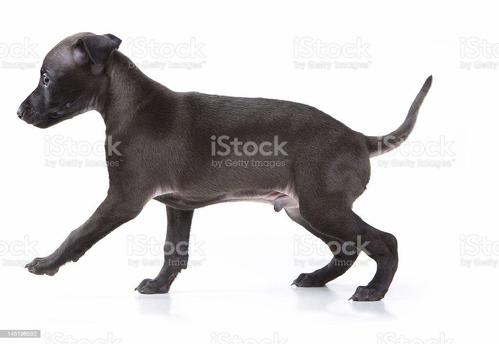 Greyhound puppy royalty-free stock photo