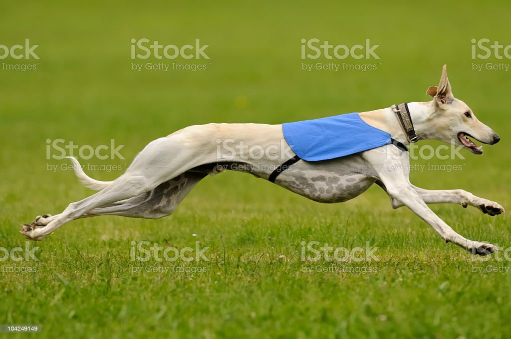 A greyhound running fast in the green grass stock photo
