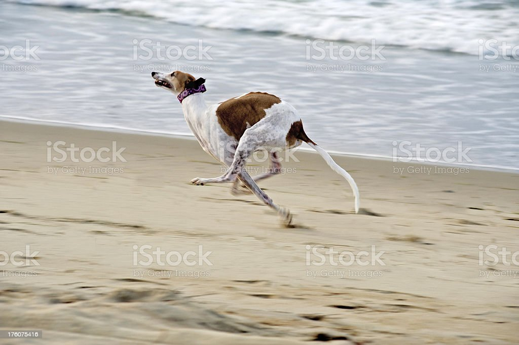 Greyhound Running on Beach stock photo
