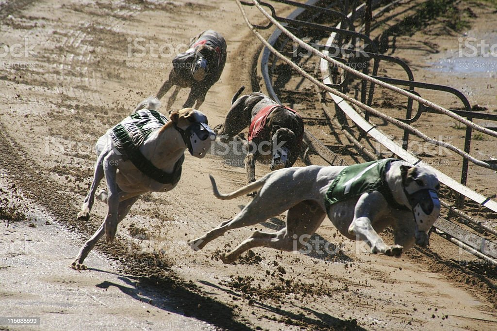 Greyhounds 2 dogs royalty-free stock photo