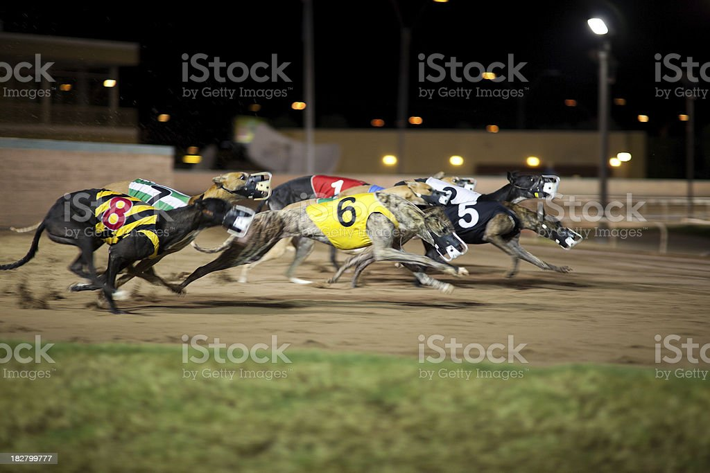 Greyhounds in motion. stock photo