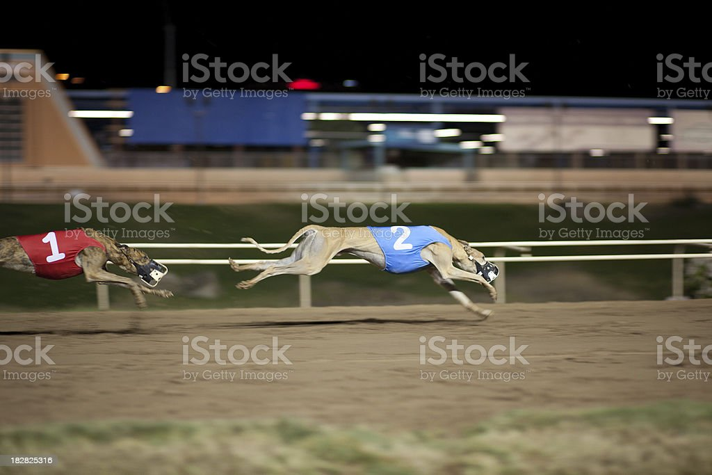 Greyhounds in motion. royalty-free stock photo
