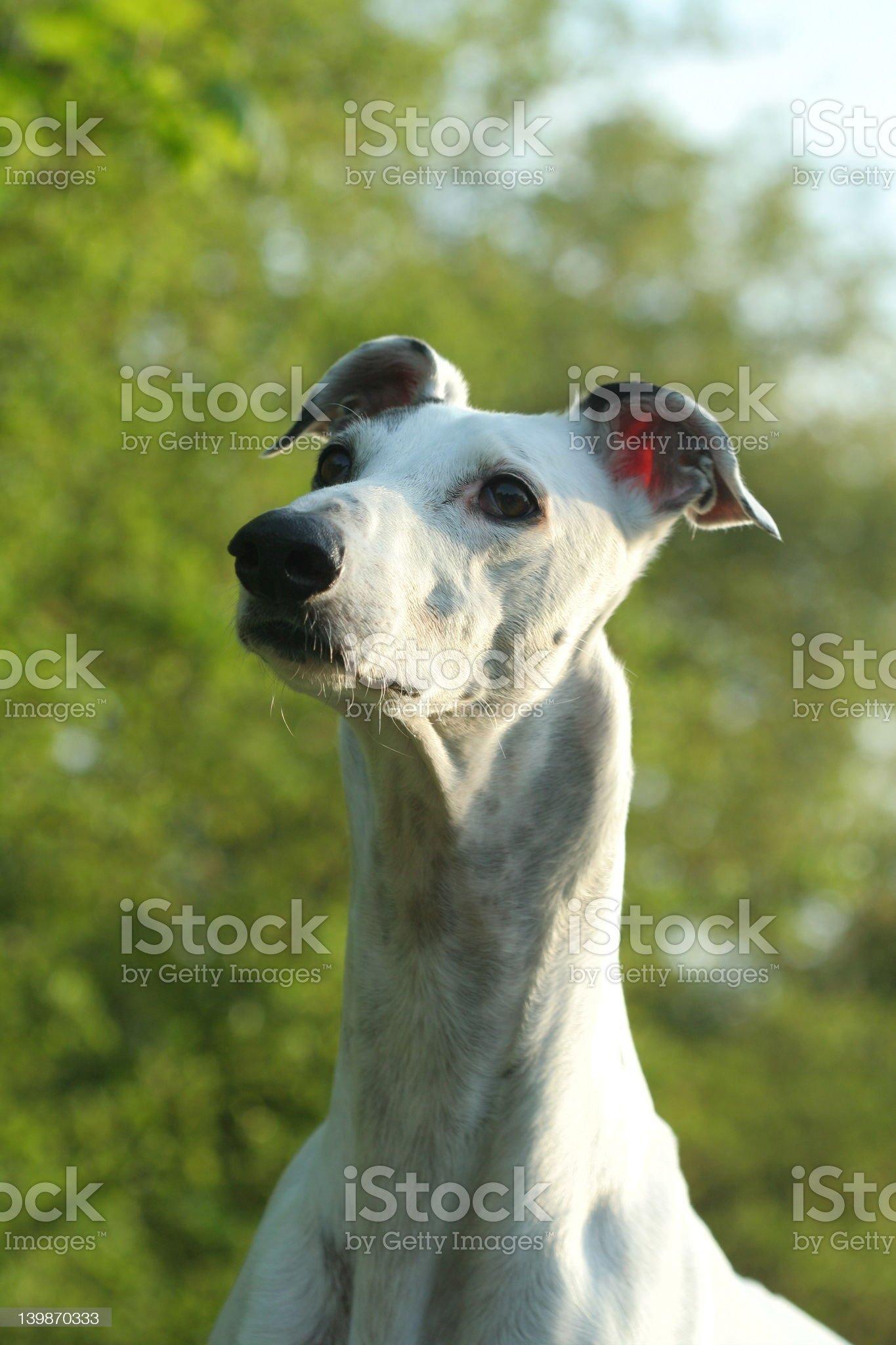 greyhounds portrait royalty-free stock photo