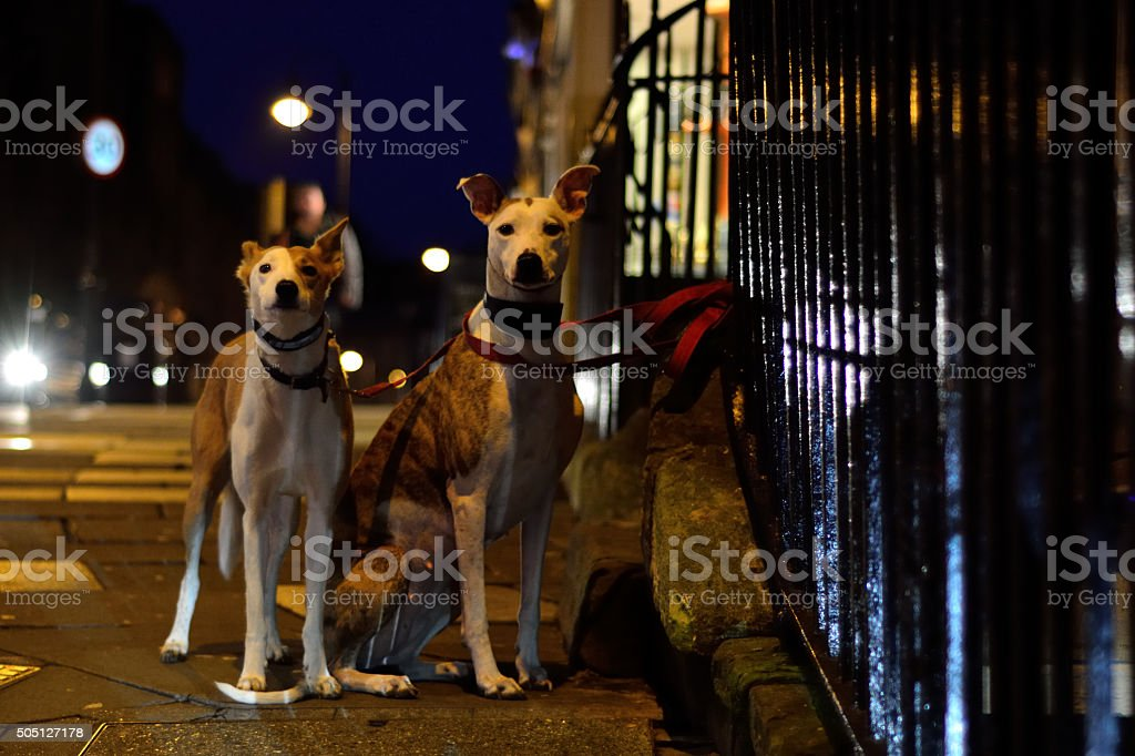 Greyhounds tied to iron railings at night stock photo