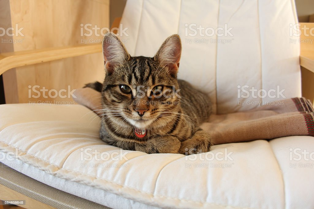 Greyish cat on a beige chair in a living room stock photo