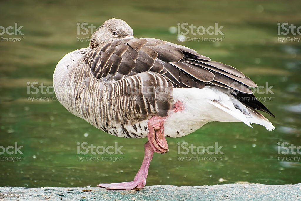 Greylag goose - Anser anser - standing on one leg and relaxes. Bird...