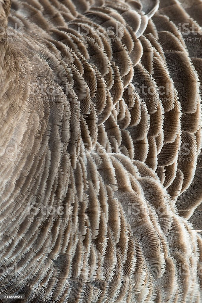 Greylag goose feathers detailed texture stock photo