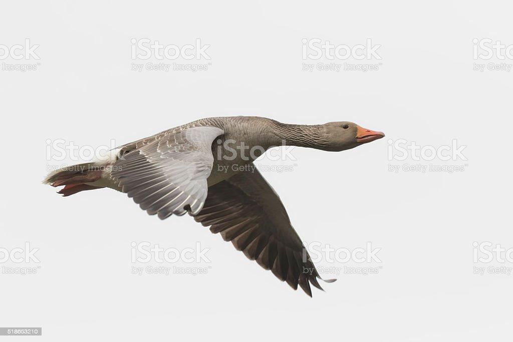 Greylag goose migrating stock photo