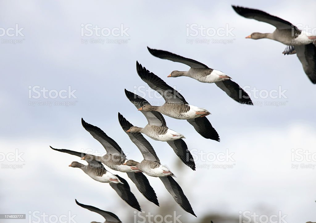 Greylag Goose  (Anser-anser) stock photo